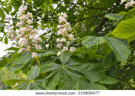 Flowers of chestnut  ( Aesculus hippocastanum )