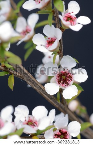 Flowers of New Zealand manuka, Leptospermum scoparium, a popular source of medicinal honey