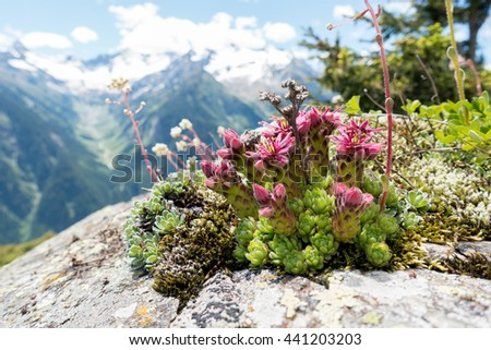 Flowers on the rocks in the alps