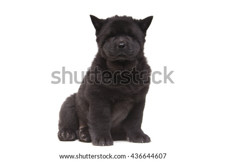 fluffy black chow-chow puppy isolated over white background