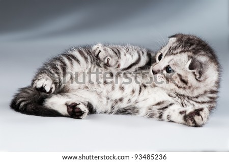fluffy gray beautiful kitten, breed scottish-fold,  lie portrait  on blue-grey  background