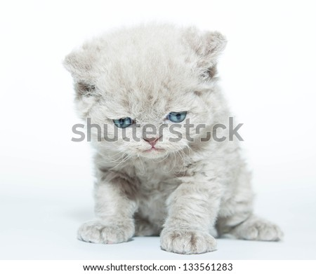 Fluffy kitten attentively looks down on a white background. He has a sad blue eyes. Looks like a plush toy.