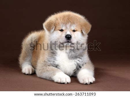 Fluffy red puppy lying on a brown background