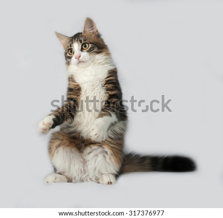 Fluffy white and tabby cat playing on gray background