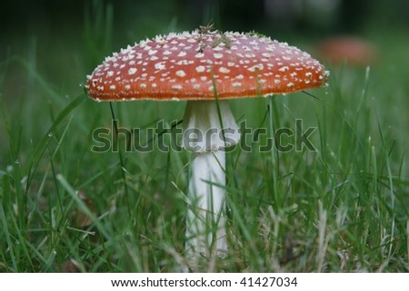 Fly Agaric is poisonous, causes hallucinations, stomach upsets, muscle spasms and can be fatal