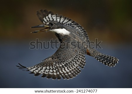 Flying bird Ringed Kingfisher above blue river with open bill in Brazil Pantanal