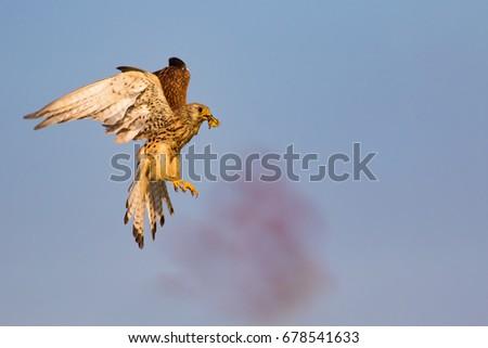 Falcon Flying In Sky