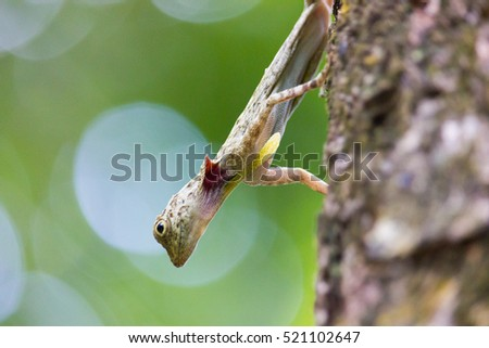Flying lizards in the Wild, native to southern Thailand
