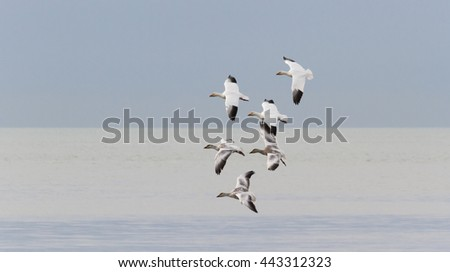 Flying Snow Goose, migratory bird