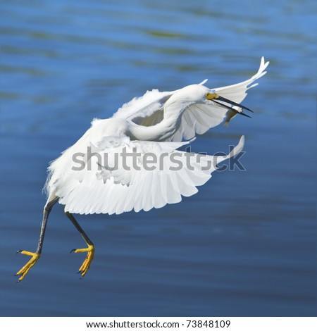 Flying Snowy Egret with catch dancing inthe air .Latin name - Egreta tula.