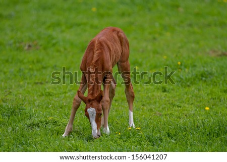 Foal eating