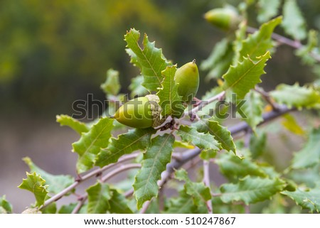 Foliage and acorns of Gall Oak, Quercus faginea. Photo taken in Guadalajara Province, Spain.