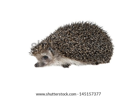 Forest hedgehog on a white background.