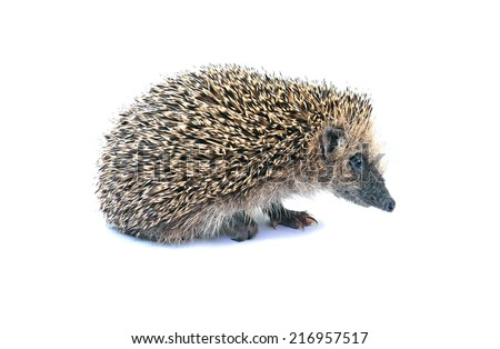 Forest hedgehog sitting isolated on white background