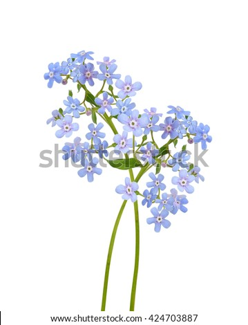 Forget-me-not blue flowers. Isolated on white background. Macro.