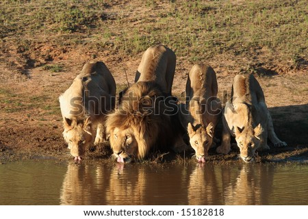 Lion Pride Stock Photos, Lion Pride Stock Photography, Lion Pride