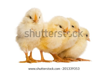 Four Chicks in a row (8 days old), isolated on white