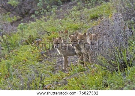 Four coyote pups waiting for their mother to bring them food