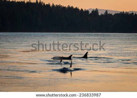 Four orcas are silhouetted in the evening light at sunset.