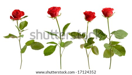 Four Beautiful Red Roses Stock Photos, Illustrations, and Vector Art