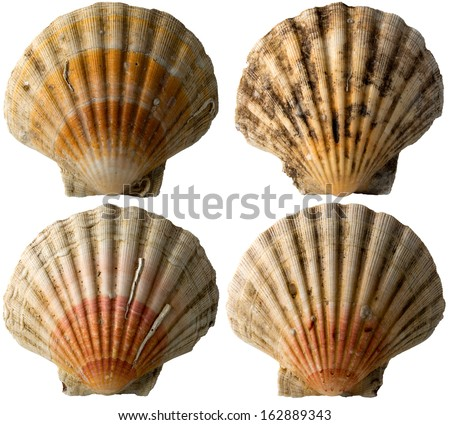 Four Scallop Shells - See Pectinidae - 1 / Set of four scallop seashells isolated on white background