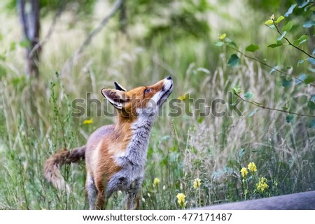 Fox looks around