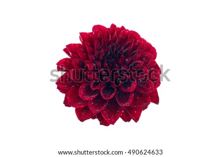 Fragrant red Dahlia on white background isolated. Flower with water drops on petals. Horizontal photo.