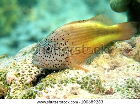 Freckled Hawkfish resting on a coral reef