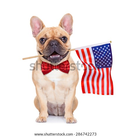 french bulldog  holding a flag of usa on independence day on 4th  of july , with mouth , isolated on white background,