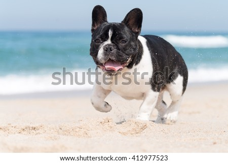 French bulldog running on the beach