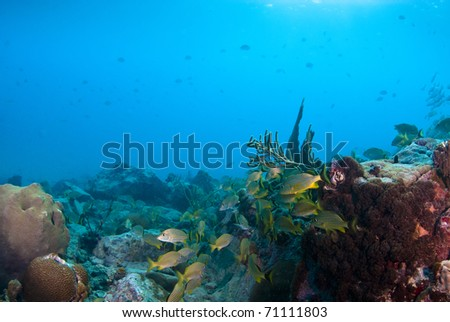 French grunts swimming by brain coral.