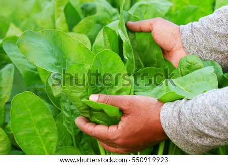 Fresh and organic spinach leaves holding by hand in garden