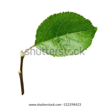 Fresh apple leaf isolated on white background with clipping path.
