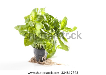 Fresh basil in a plastic pot isolated over white background. Hydroponics method of growing.