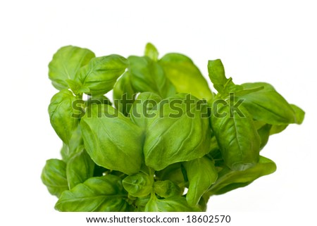 Fresh basil isolated