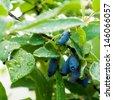 Fresh blue berries honeysuckle woodbine (lonicera) close up  - stock photo