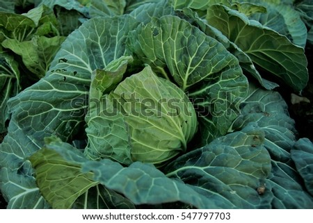 Fresh cabbage, organic pesticide, farm field, in Tatebayashi, Gunma, Japan.1/3/2017