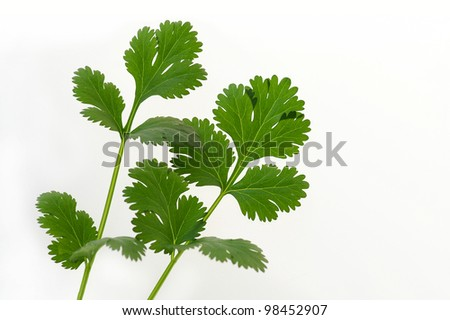 Fresh Cilantro Herb