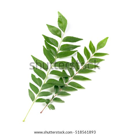 Fresh curry leaves isolated on white. Curry leaves used as cooking ingredients as well as health beneficial home remedies.