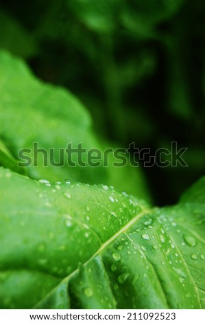 Fresh Green Leafs Close � up with rain drops