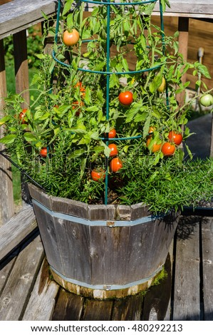 Fresh growing tomatoes in the garden with wire rings