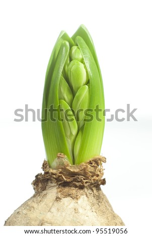 fresh hyacinth buds and leaf isolated on white