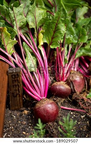 Fresh Organic Beetroot Right Out Groundwashing Stock Photo 511119685 Shutterstock