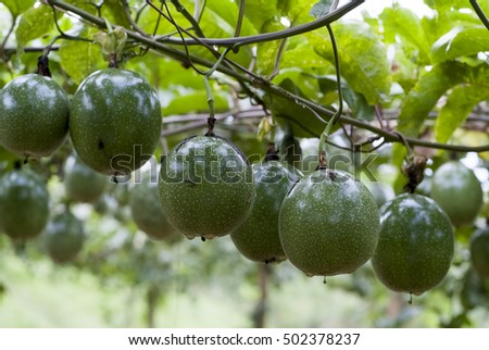 Fresh passion fruit hanging from the vine