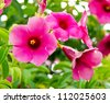 Fresh pink Allamanda Flowers with raindrops blooming in the garden - stock photo