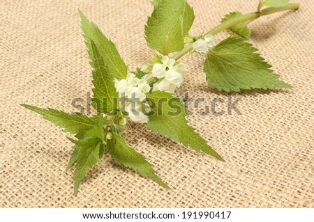 Fresh stinging nettles with white flowers lying on jute canvas