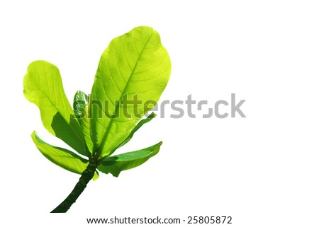 Fresh tropical leaves on white