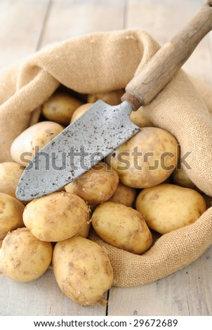 Freshly dug new potatoes in hessian sack with trowel on rustic table