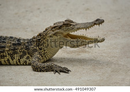 Freshwater crocodile or alligator or crocodile swamp, freshwater species are native to Thailand in Vietnam, Cambodia, Laos, Thailand, Kalimantan,Sumatra is quite a big way medium sized crocodile.