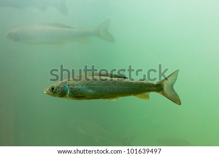 Freshwater fish Arctic Grayling, Thymallus arcticus, underwater waiting for food to float by.